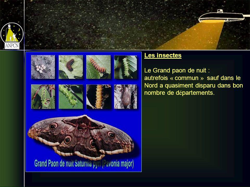 Les insectes Le Grand paon de nuit : autrefois « commun » sauf dans le Nord a quasiment disparu dans bon nombre de d é partements.