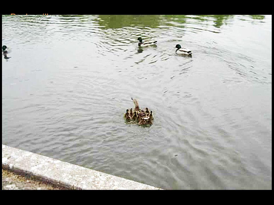 Quand ils arrivèrent à la rivière, la cane dépassa Joël pour aller à l'eau et se mit à caqueter de nouveau. Les employés de la banque Sterling penchèr