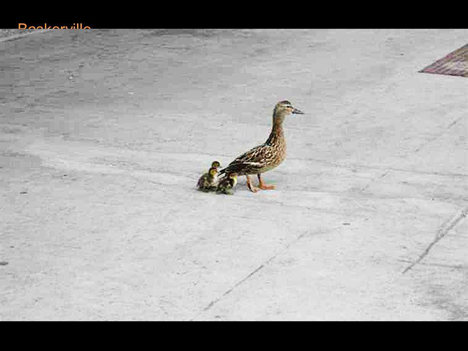 Joël ne pouvait imaginer ces petites créatures plongeant dans le vide!....... et pourtant le premier caneton fit le saut et tomba sur le trottoir, Joë