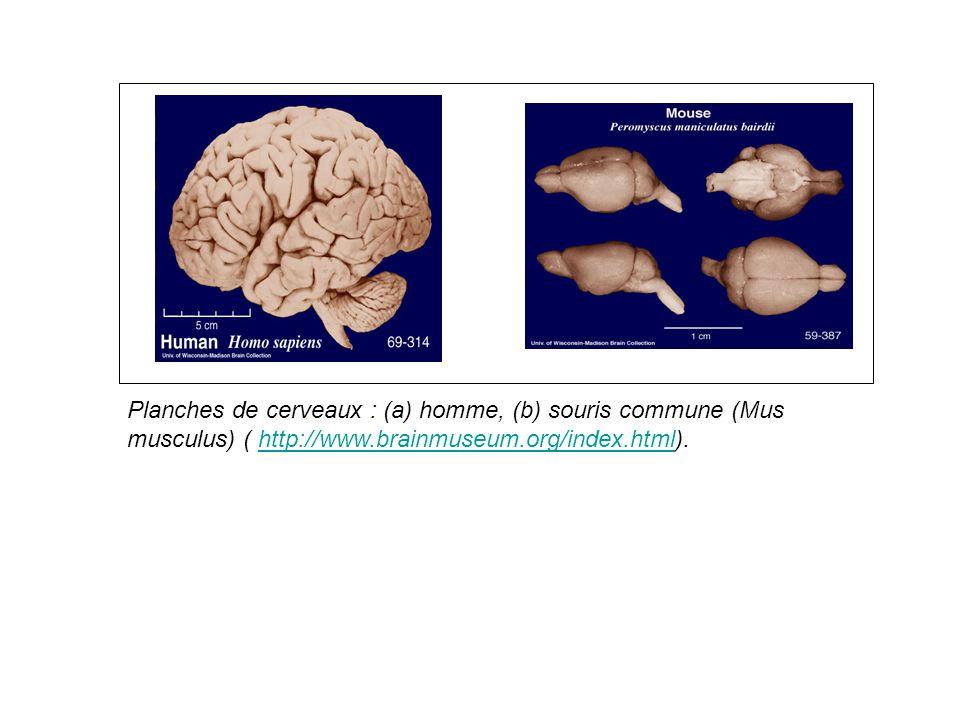 Planches de cerveaux : (a) homme, (b) souris commune (Mus musculus) ( http://www.brainmuseum.org/index.html).http://www.brainmuseum.org/index.html