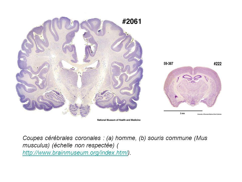 Coupes cérébrales coronales : (a) homme, (b) souris commune (Mus musculus) (échelle non respectée) ( http://www.brainmuseum.org/index.html). http://ww