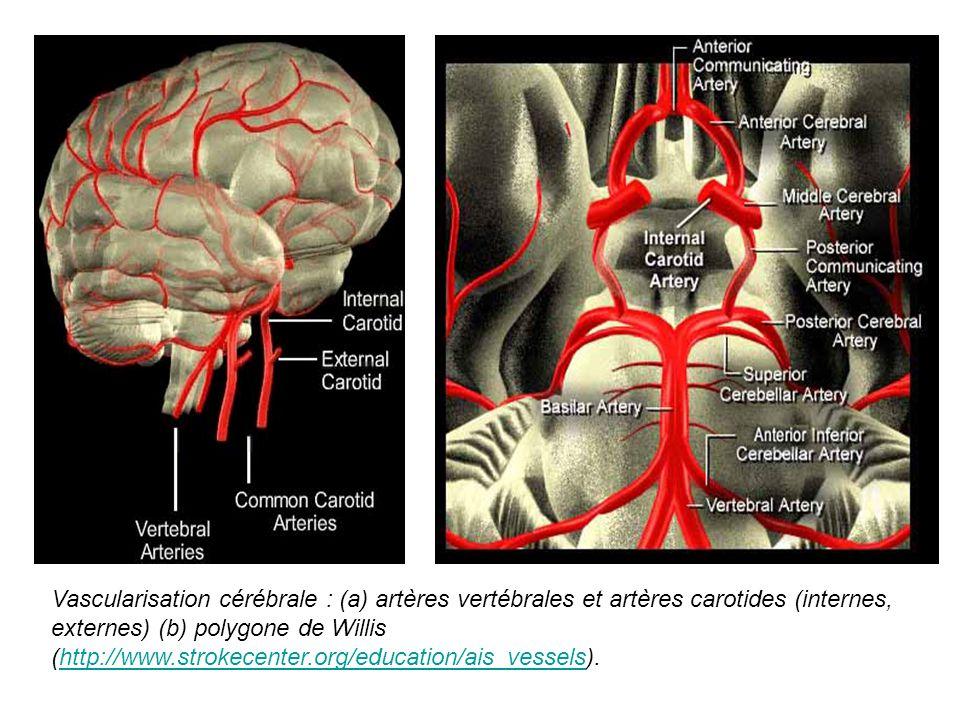 Vascularisation cérébrale : (a) artères vertébrales et artères carotides (internes, externes) (b) polygone de Willis (http://www.strokecenter.org/educ