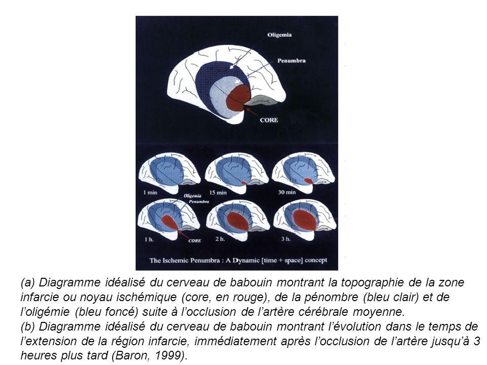 (a) Diagramme idéalisé du cerveau de babouin montrant la topographie de la zone infarcie ou noyau ischémique (core, en rouge), de la pénombre (bleu cl