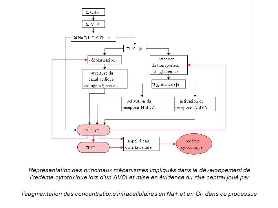 Représentation des principaux mécanismes impliqués dans le développement de l'œdème cytotoxique lors dun AVCi et mise en évidence du rôle central joué