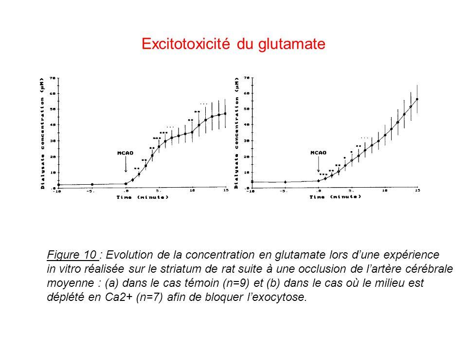 Excitotoxicité du glutamate Figure 10 : Evolution de la concentration en glutamate lors dune expérience in vitro réalisée sur le striatum de rat suite