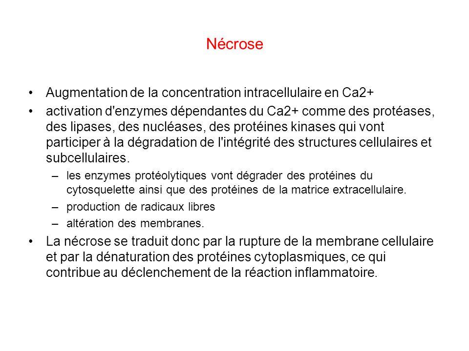 Nécrose Augmentation de la concentration intracellulaire en Ca2+ activation d'enzymes dépendantes du Ca2+ comme des protéases, des lipases, des nucléa