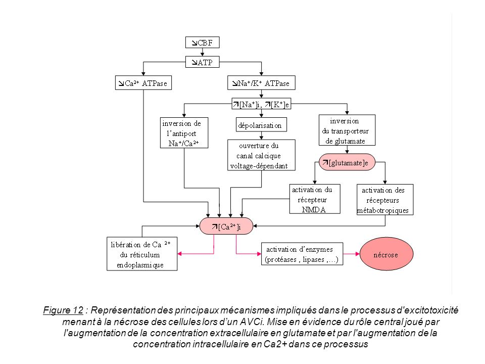 Figure 12 : Représentation des principaux mécanismes impliqués dans le processus d'excitotoxicité menant à la nécrose des cellules lors dun AVCi. Mise