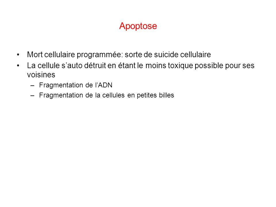 Apoptose Mort cellulaire programmée: sorte de suicide cellulaire La cellule sauto détruit en étant le moins toxique possible pour ses voisines –Fragme