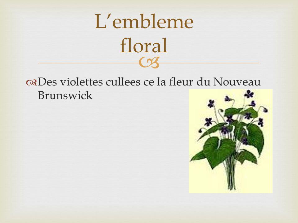 Des violettes cullees ce la fleur du Nouveau Brunswick Lembleme floral