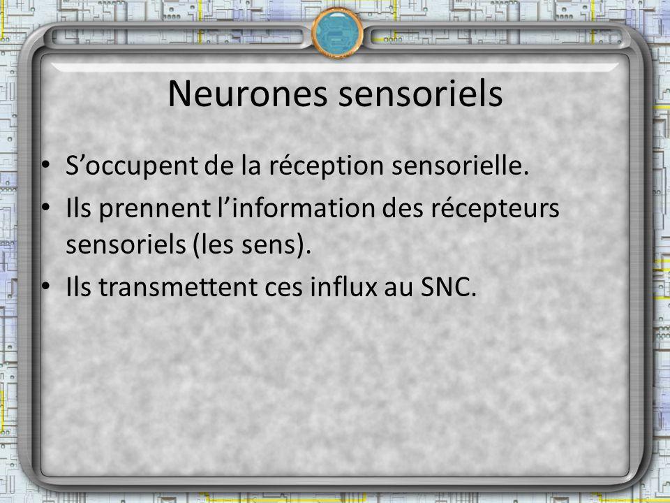 Neurones sensoriels Soccupent de la réception sensorielle. Ils prennent linformation des récepteurs sensoriels (les sens). Ils transmettent ces influx