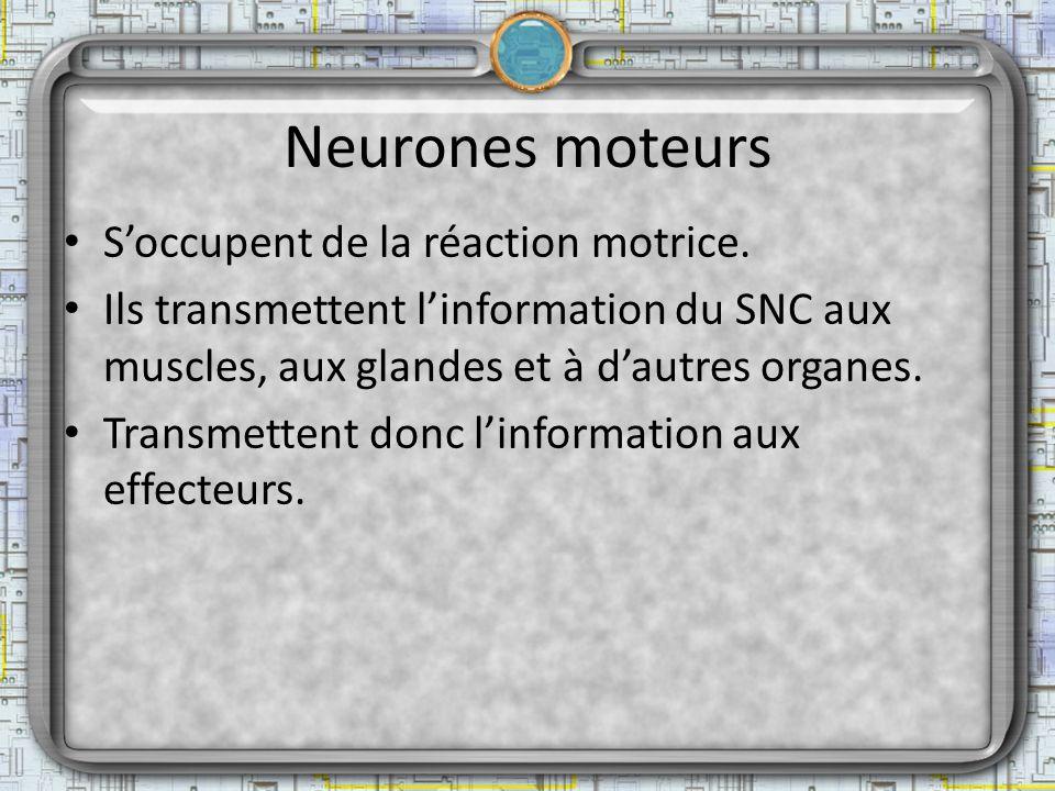 Neurones moteurs Soccupent de la réaction motrice. Ils transmettent linformation du SNC aux muscles, aux glandes et à dautres organes. Transmettent do
