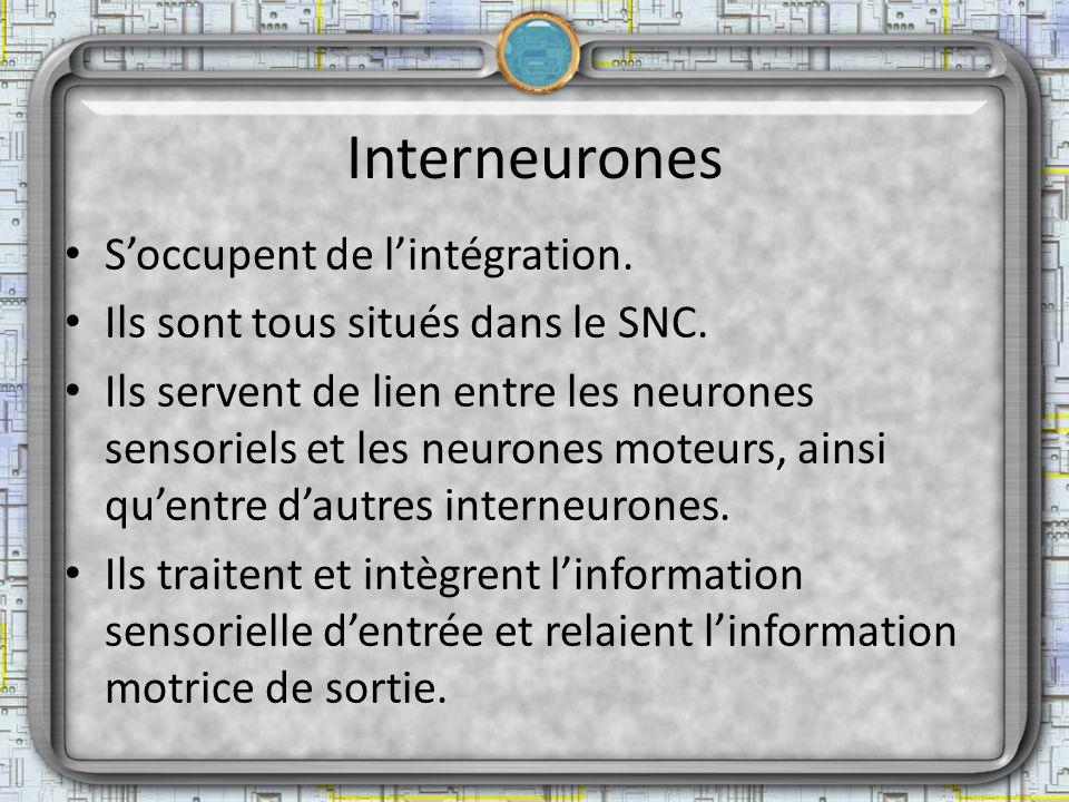 Interneurones Soccupent de lintégration. Ils sont tous situés dans le SNC. Ils servent de lien entre les neurones sensoriels et les neurones moteurs,