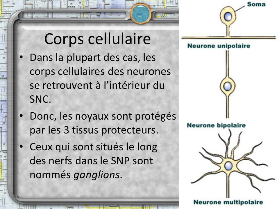 Corps cellulaire Dans la plupart des cas, les corps cellulaires des neurones se retrouvent à lintérieur du SNC. Donc, les noyaux sont protégés par les