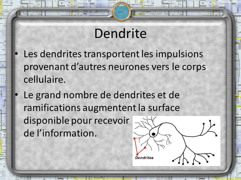 Dendrite Les dendrites transportent les impulsions provenant dautres neurones vers le corps cellulaire. Le grand nombre de dendrites et de ramificatio