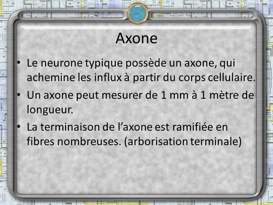 Axone Le neurone typique possède un axone, qui achemine les influx à partir du corps cellulaire. Un axone peut mesurer de 1 mm à 1 mètre de longueur.