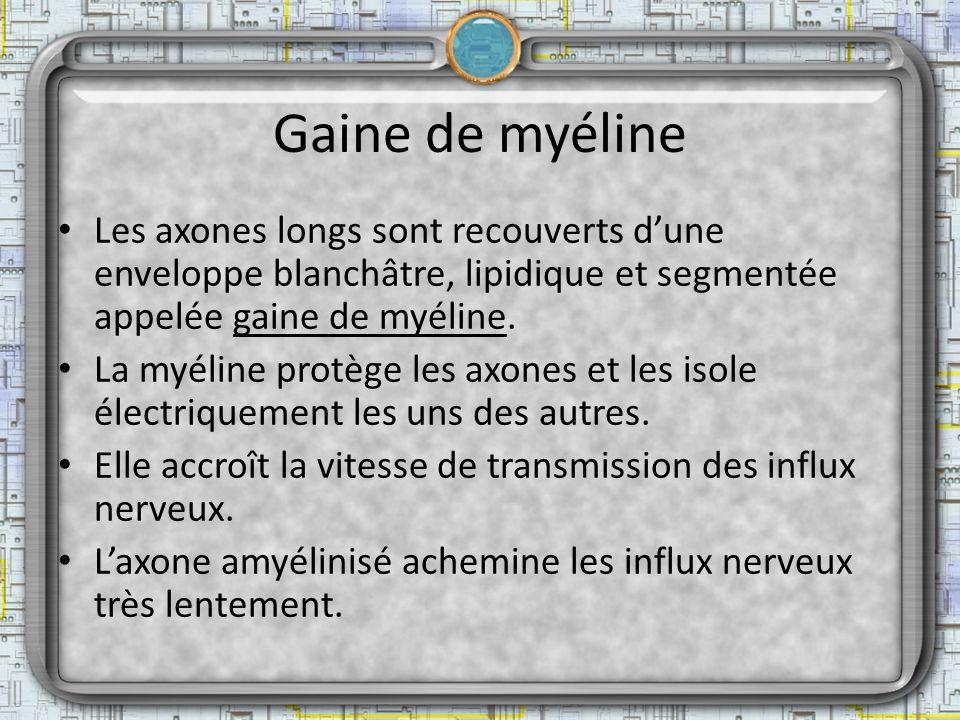 Gaine de myéline Les axones longs sont recouverts dune enveloppe blanchâtre, lipidique et segmentée appelée gaine de myéline. La myéline protège les a