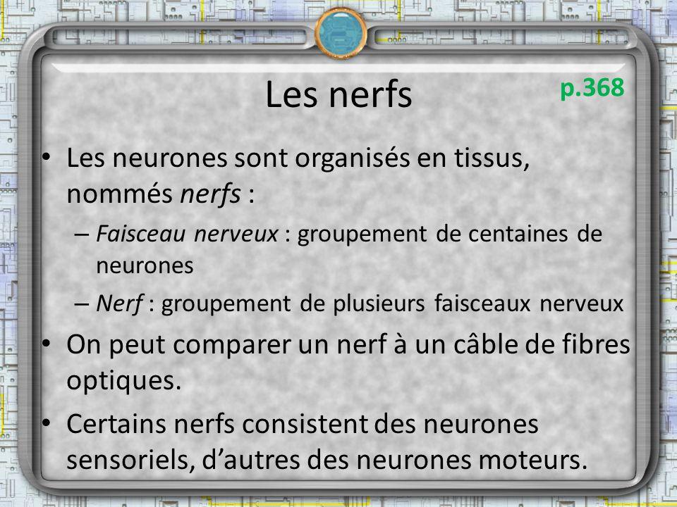 Les nerfs Les neurones sont organisés en tissus, nommés nerfs : – Faisceau nerveux : groupement de centaines de neurones – Nerf : groupement de plusie