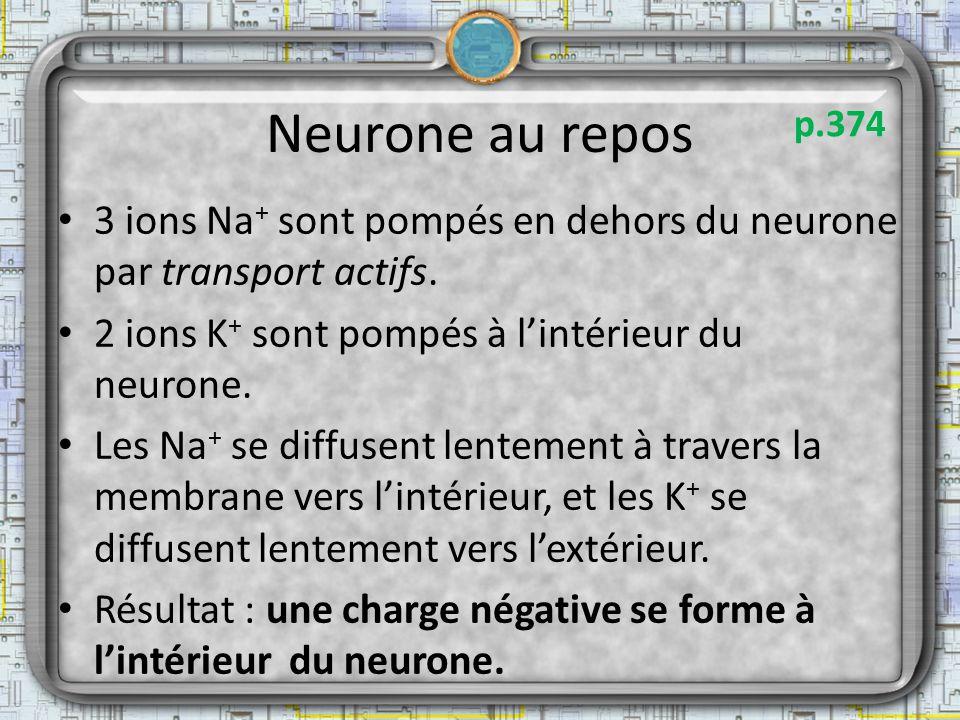Neurone au repos 3 ions Na + sont pompés en dehors du neurone par transport actifs. 2 ions K + sont pompés à lintérieur du neurone. Les Na + se diffus