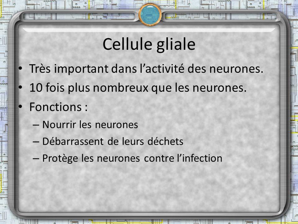 Cellule gliale Très important dans lactivité des neurones. 10 fois plus nombreux que les neurones. Fonctions : – Nourrir les neurones – Débarrassent d