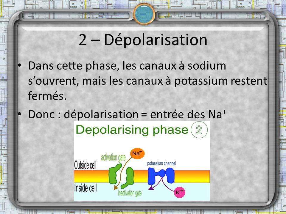 2 – Dépolarisation Dans cette phase, les canaux à sodium souvrent, mais les canaux à potassium restent fermés. Donc : dépolarisation = entrée des Na +