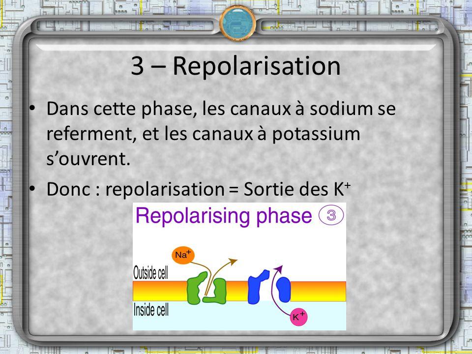 3 – Repolarisation Dans cette phase, les canaux à sodium se referment, et les canaux à potassium souvrent. Donc : repolarisation = Sortie des K +