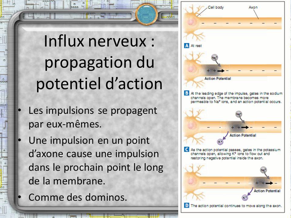Influx nerveux : propagation du potentiel daction Les impulsions se propagent par eux-mêmes. Une impulsion en un point daxone cause une impulsion dans