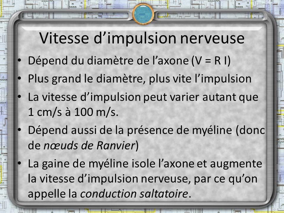 Vitesse dimpulsion nerveuse Dépend du diamètre de laxone (V = R I) Plus grand le diamètre, plus vite limpulsion La vitesse dimpulsion peut varier auta