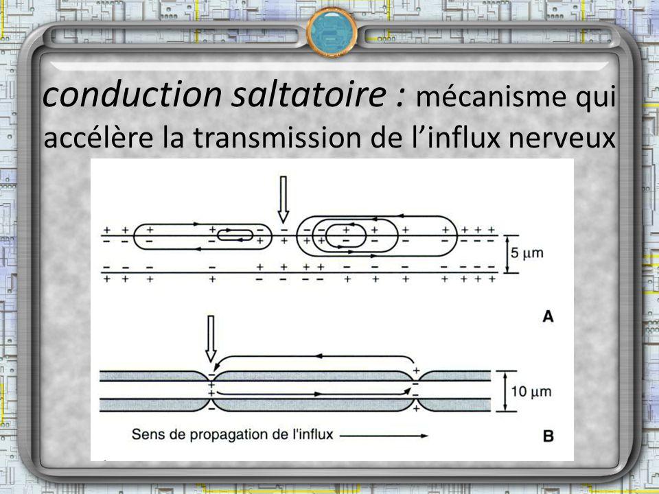 conduction saltatoire : mécanisme qui accélère la transmission de linflux nerveux
