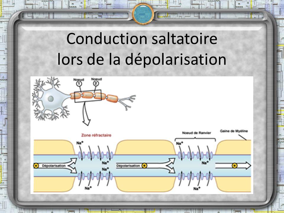Conduction saltatoire lors de la dépolarisation