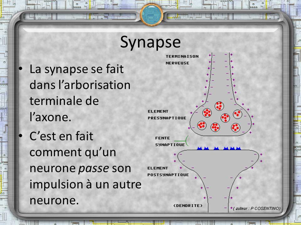 Synapse La synapse se fait dans larborisation terminale de laxone. Cest en fait comment quun neurone passe son impulsion à un autre neurone.