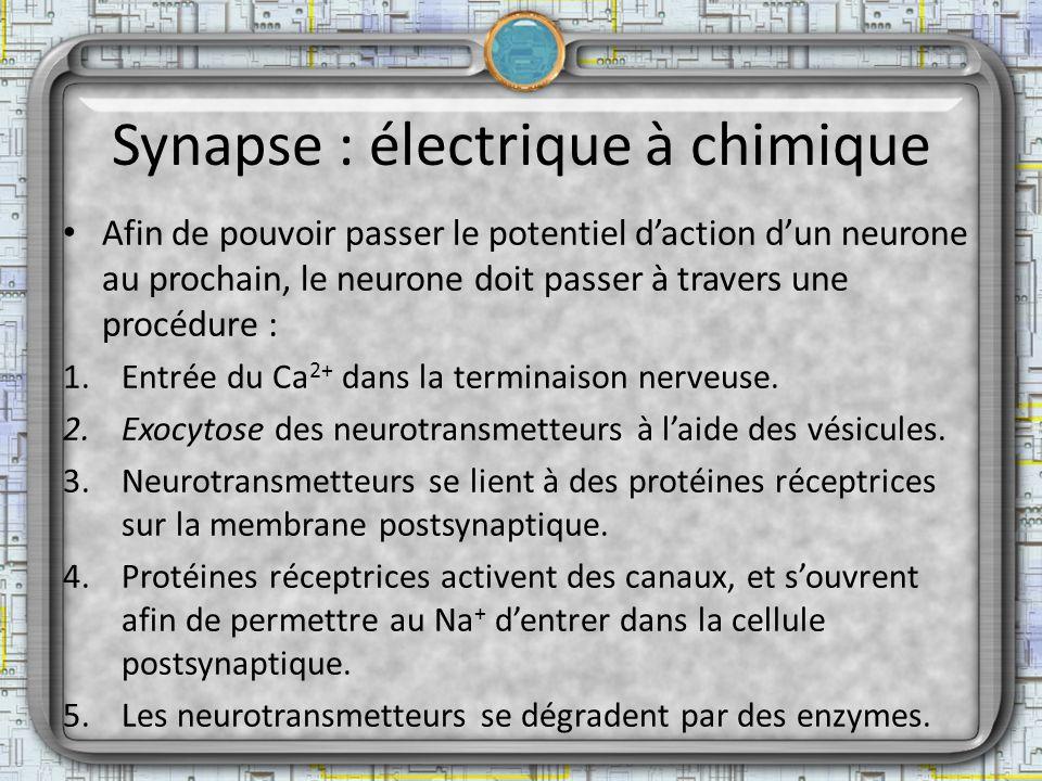 Synapse : électrique à chimique Afin de pouvoir passer le potentiel daction dun neurone au prochain, le neurone doit passer à travers une procédure :