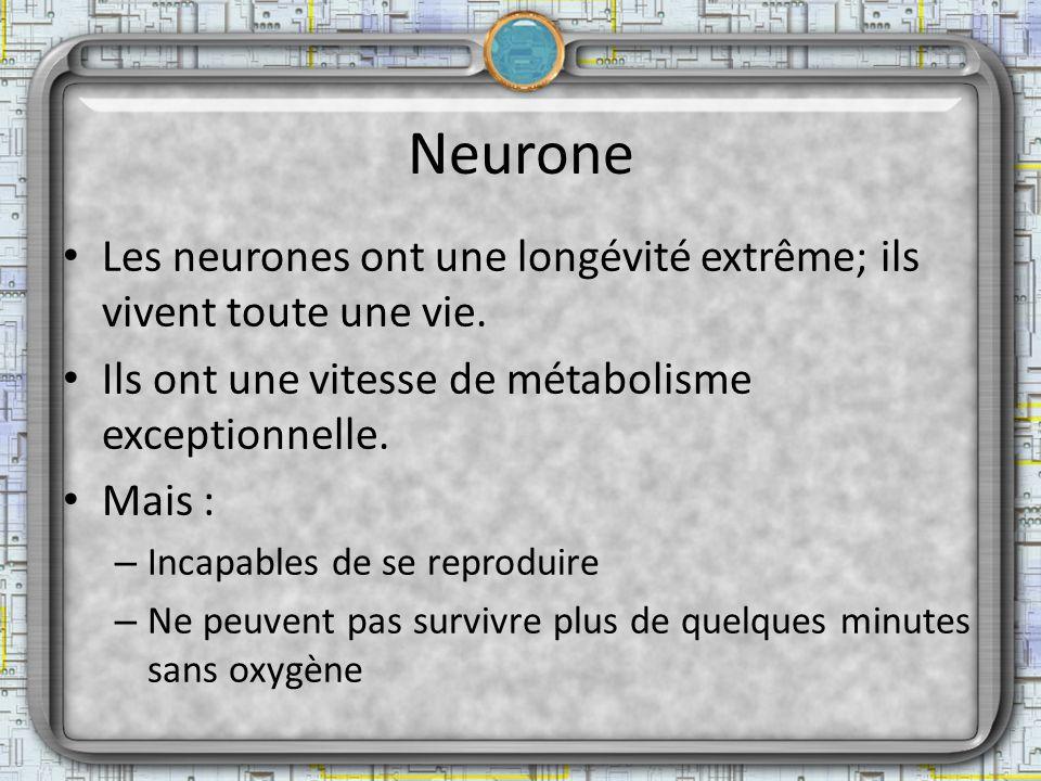 Neurone Les neurones ont une longévité extrême; ils vivent toute une vie. Ils ont une vitesse de métabolisme exceptionnelle. Mais : – Incapables de se