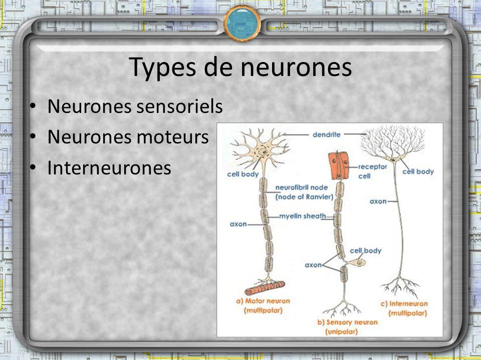 Types de neurones Neurones sensoriels Neurones moteurs Interneurones