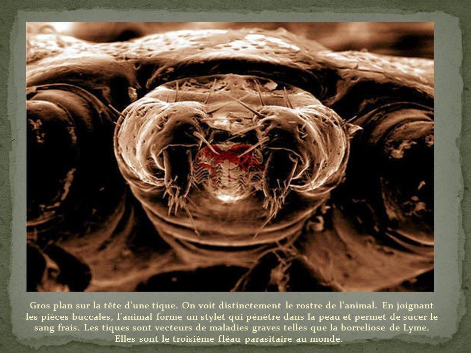 Magnifique gros plan d'un dard d'abeille. Celui-ci est dentelé permettant, ainsi, une meilleure pénétration dans la chair de sa victime. L'abeille piq