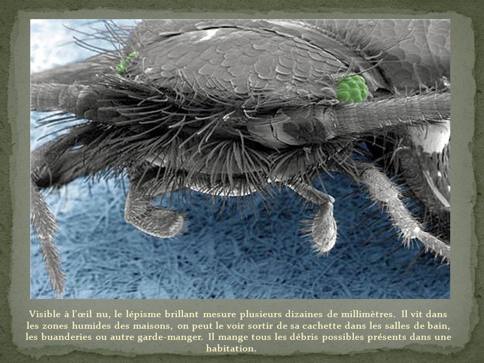 Gros plan sur la tête d'une tique. On voit distinctement le rostre de l'animal. En joignant les pièces buccales, l'animal forme un stylet qui pénètre