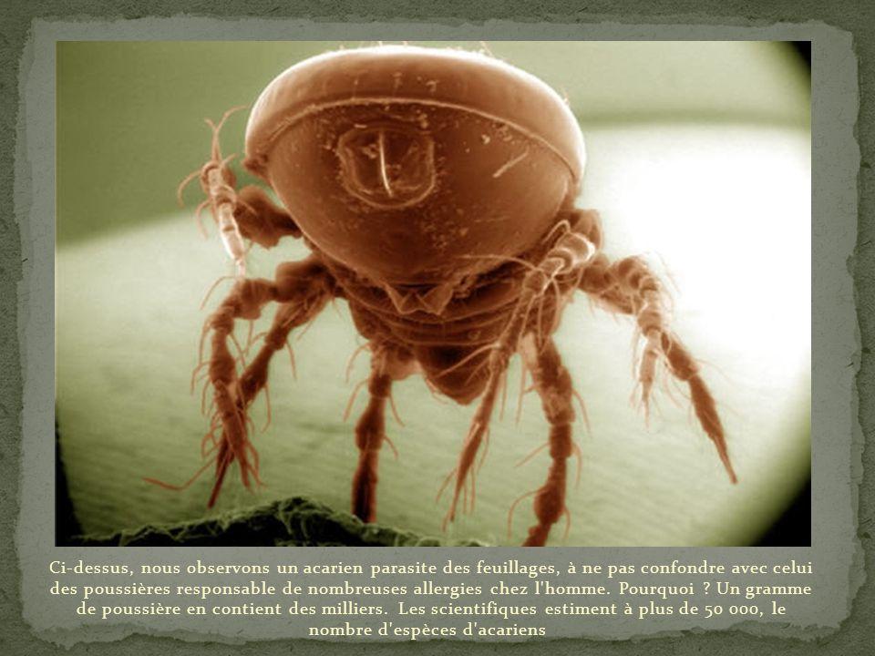 Image d'un dard de fourmi totalement ensanglanté. Toutes les espèces de fourmis n'en sont pas dotées ; les plus agressives sont celles d'Amérique du S