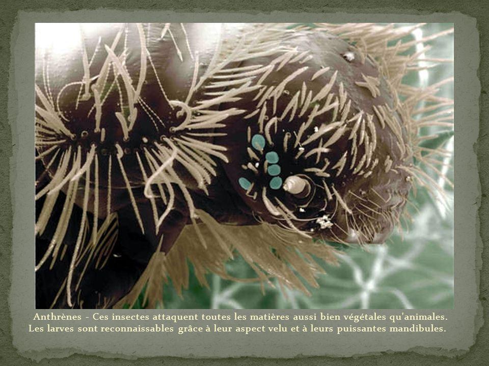 Les attagènes sont des organismes qui mangent absolument tout ce qui leur passe sous la patte. Poils, peaux mortes, textiles, plumes... Font office de