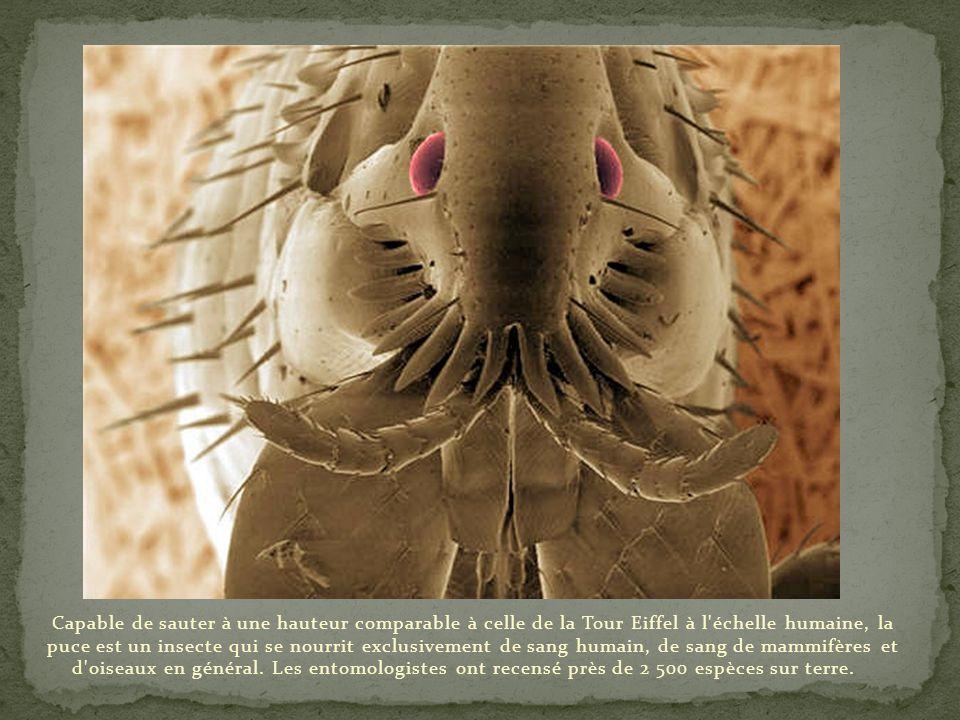 Cet insecte photographié ci-dessus est un charançon