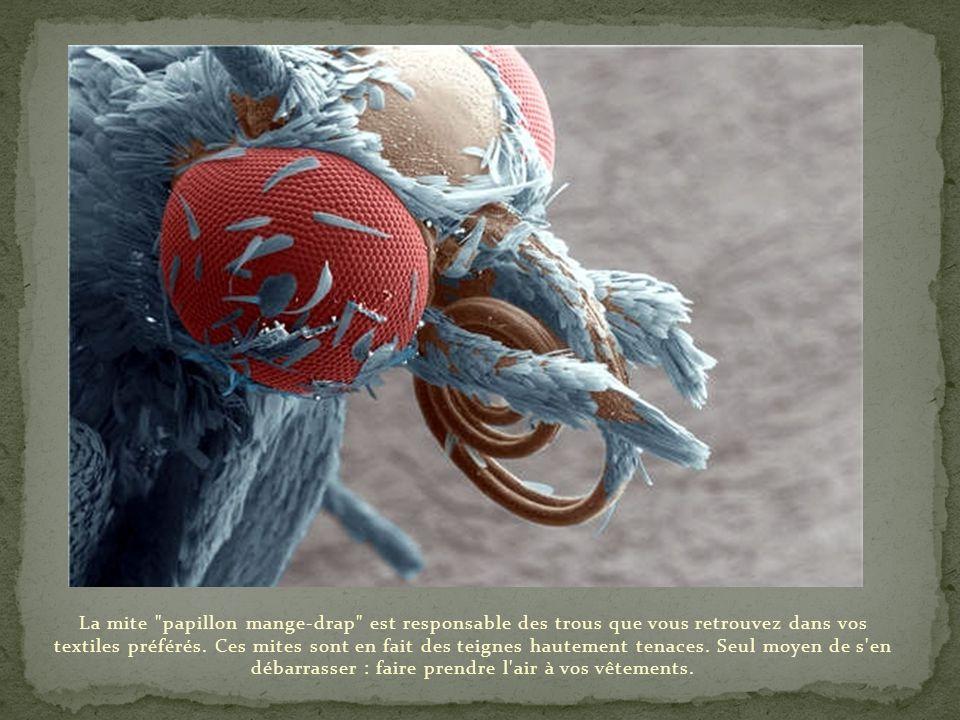 Capable de sauter à une hauteur comparable à celle de la Tour Eiffel à l'échelle humaine, la puce est un insecte qui se nourrit exclusivement de sang