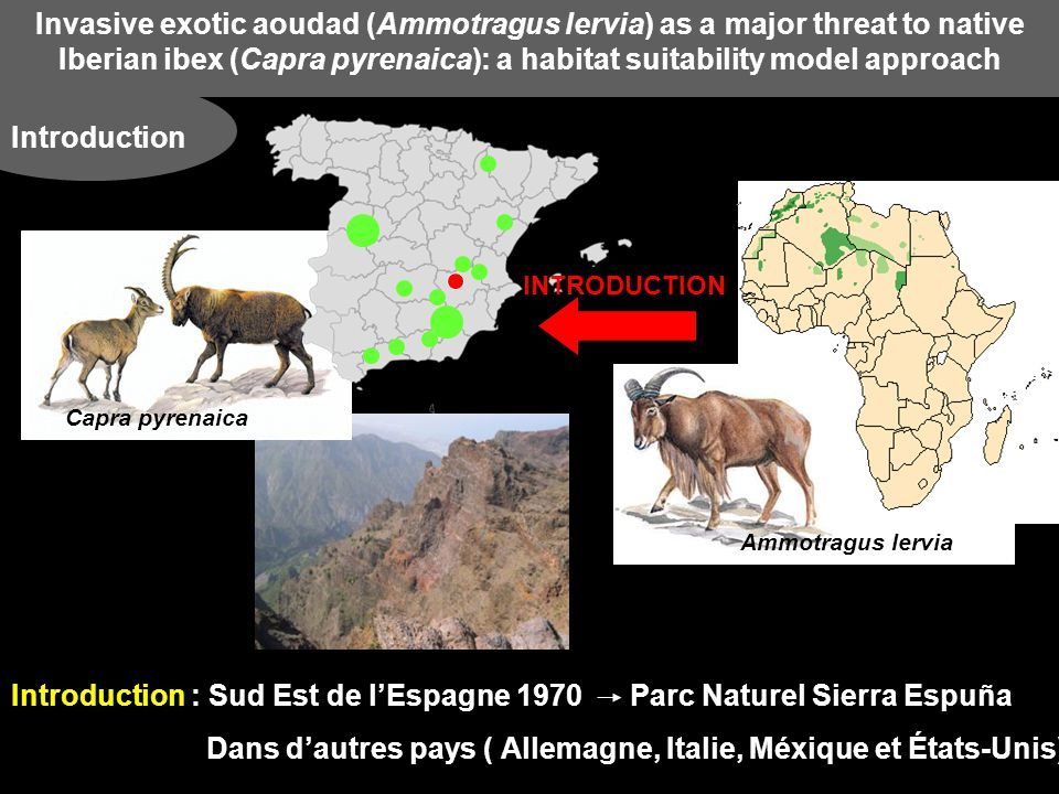 Invasive exotic aoudad (Ammotragus lervia) as a major threat to native Iberian ibex ( Capra pyrenaica ): a habitat suitability model approach Résultats Habitat Suitability Modellig (HSM) Carte prédictive des habitats de coexistence potentielle entre les deux espèces Ammotragus lervia Capra pyrenaica Coexistence entre les 2 espèces Les habitats les plus propices à la coexistence = chaînes de montagnes Cazorla, Segura et Las Villas Sierra de Los Filabres