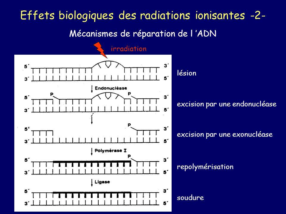 Effets biologiques des radiations ionisantes -2- Mécanismes de réparation de l ADN irradiation lésion excision par une endonucléase excision par une e