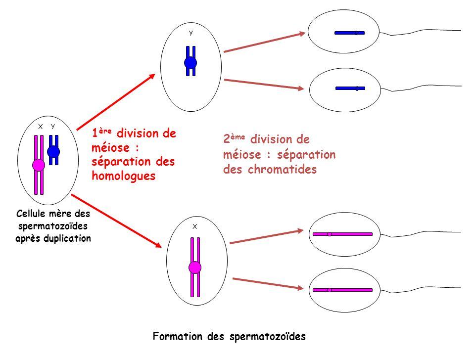 X Y Cellule mère des spermatozoïdes après duplication 1 ère division de méiose : séparation des homologues X Y 2 ème division de méiose : séparation d