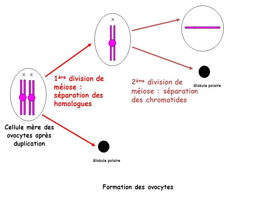 X Cellule mère des ovocytes après duplication 1 ère division de méiose : séparation des homologues X 2 ème division de méiose : séparation des chromat