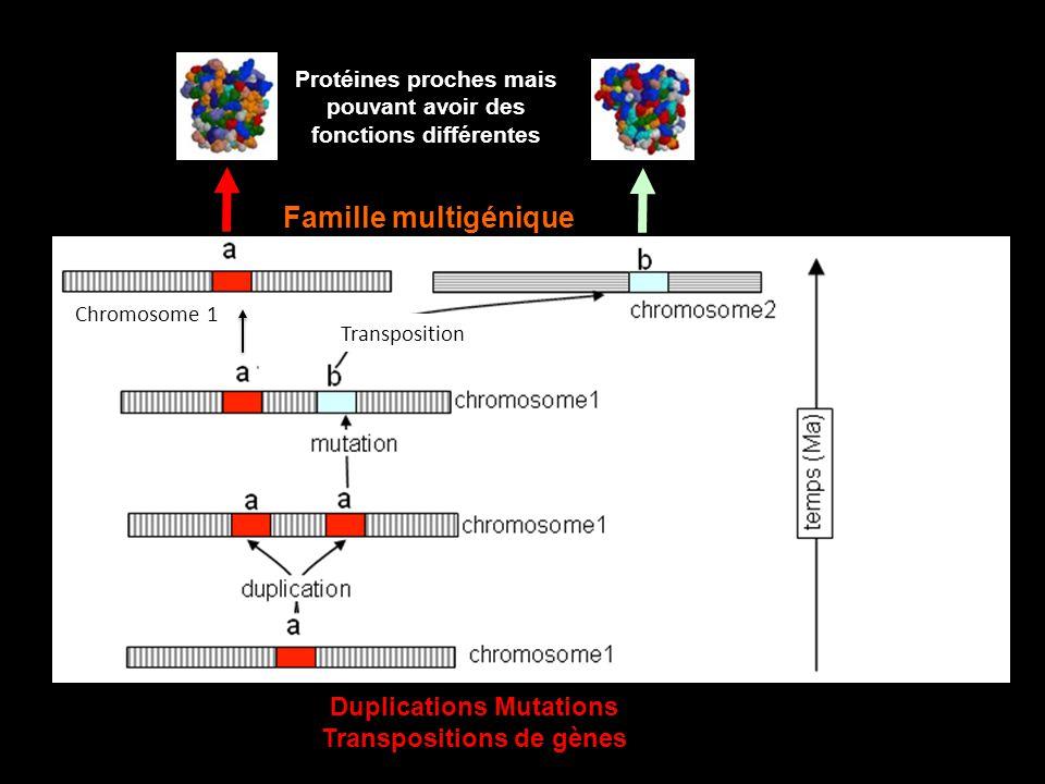 Protéines proches mais pouvant avoir des fonctions différentes Famille multigénique Duplications Mutations Transpositions de gènes Chromosome 1 Transp