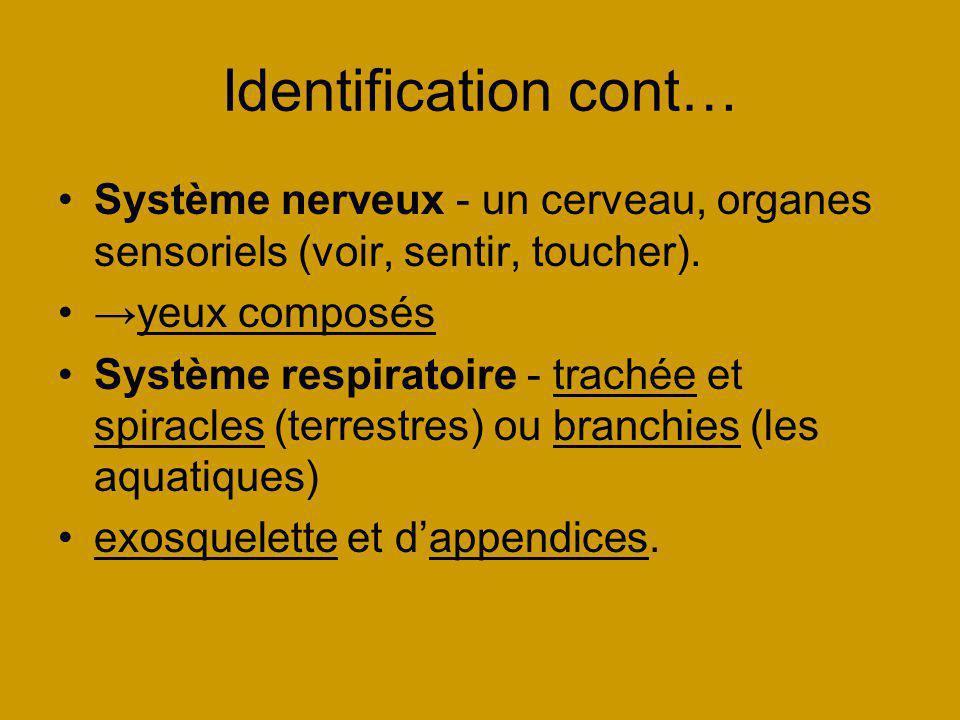 Identification cont… Système nerveux - un cerveau, organes sensoriels (voir, sentir, toucher). yeux composés Système respiratoire - trachée et spiracl
