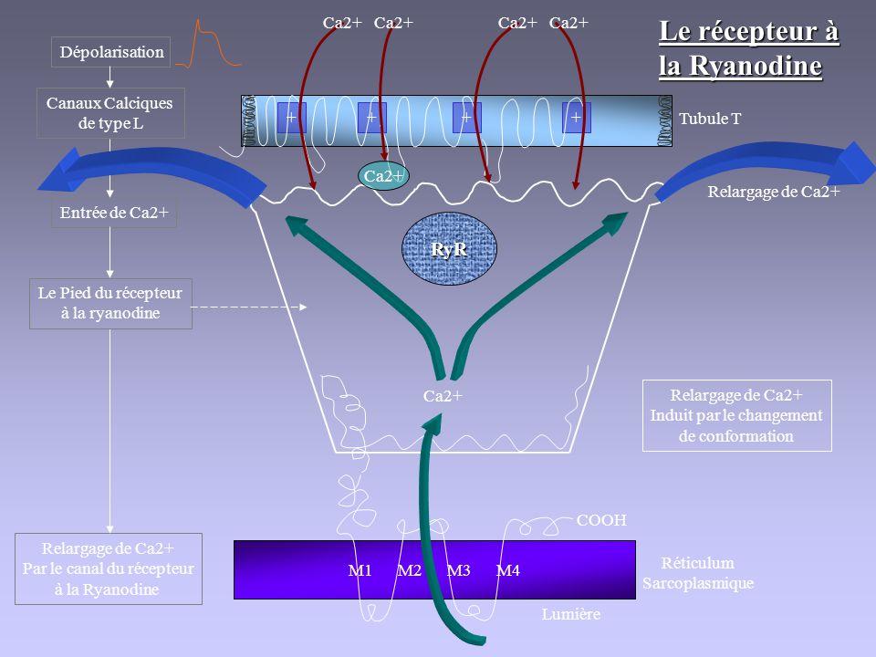 Le récepteur à la Ryanodine M1 M2 M3 M4 COOH Réticulum Sarcoplasmique Lumière RyR ++++ Tubule T Dépolarisation Ca2+ Canaux Calciques de type L Entrée