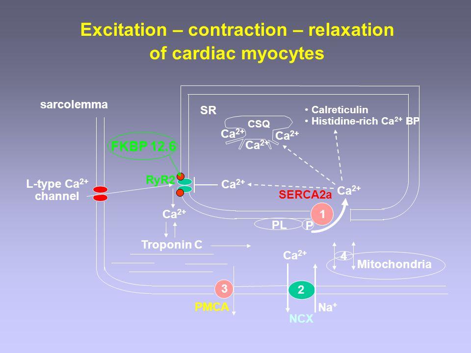 NCX PMCA L-type Ca 2+ channel RyR2 Troponin C Ca 2+ SR SERCA2a sarcolemma Ca 2+ CSQ Mitochondria 1 3 2 4 P PL FKBP 12.6 Excitation – contraction – rel