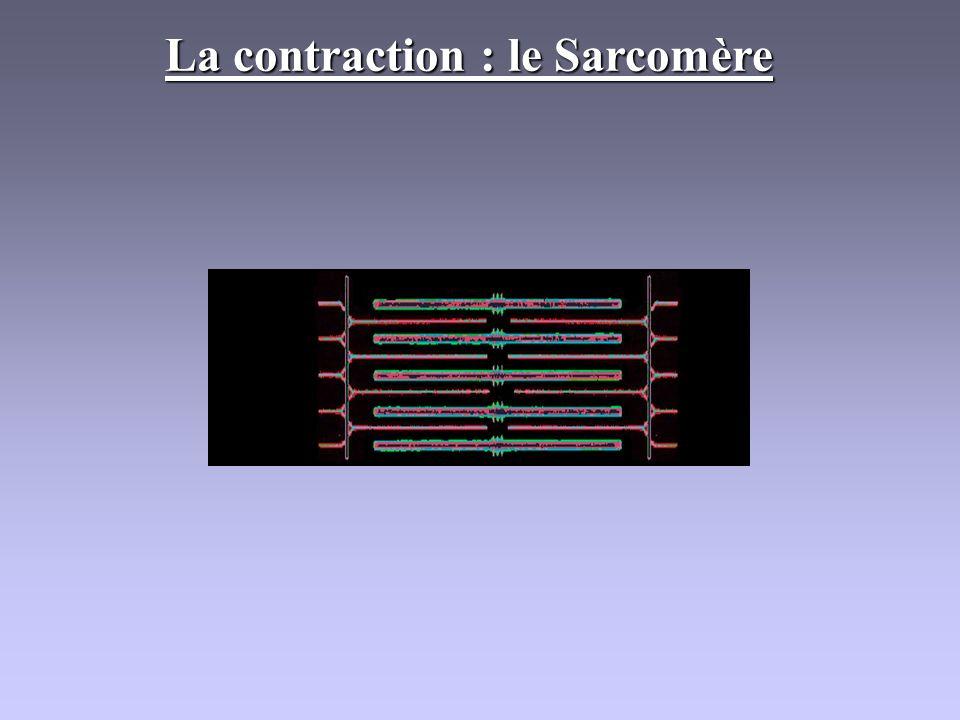 La contraction : le Sarcomère