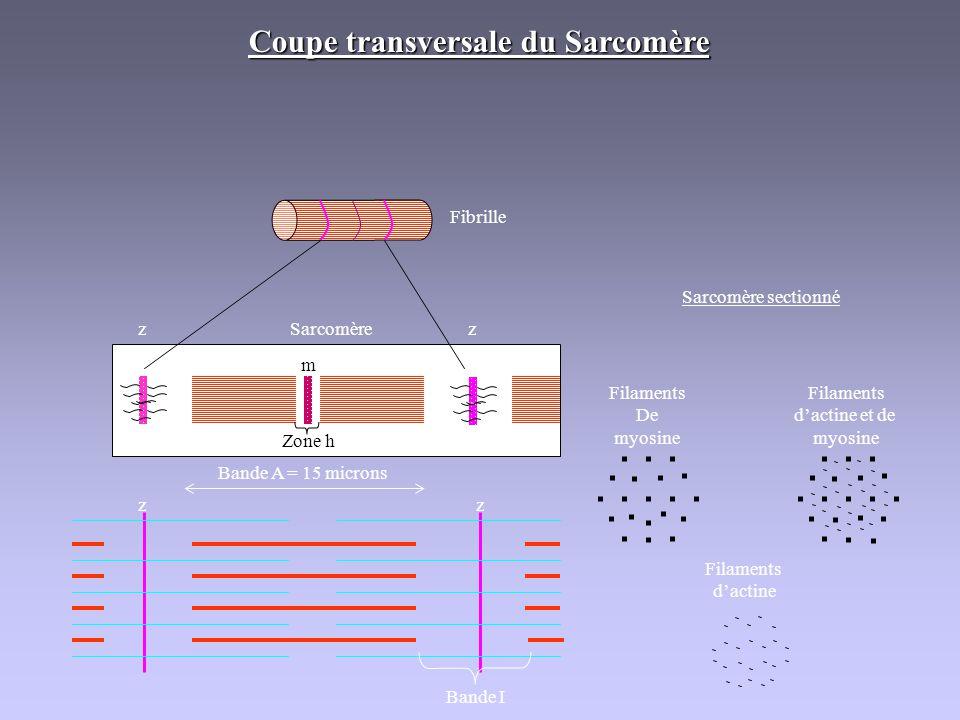 Fibrille Sarcomère Coupe transversale du Sarcomère Bande I zz zz m Bande A = 15 microns Zone h Sarcomère sectionné Filaments De myosine Filaments dact