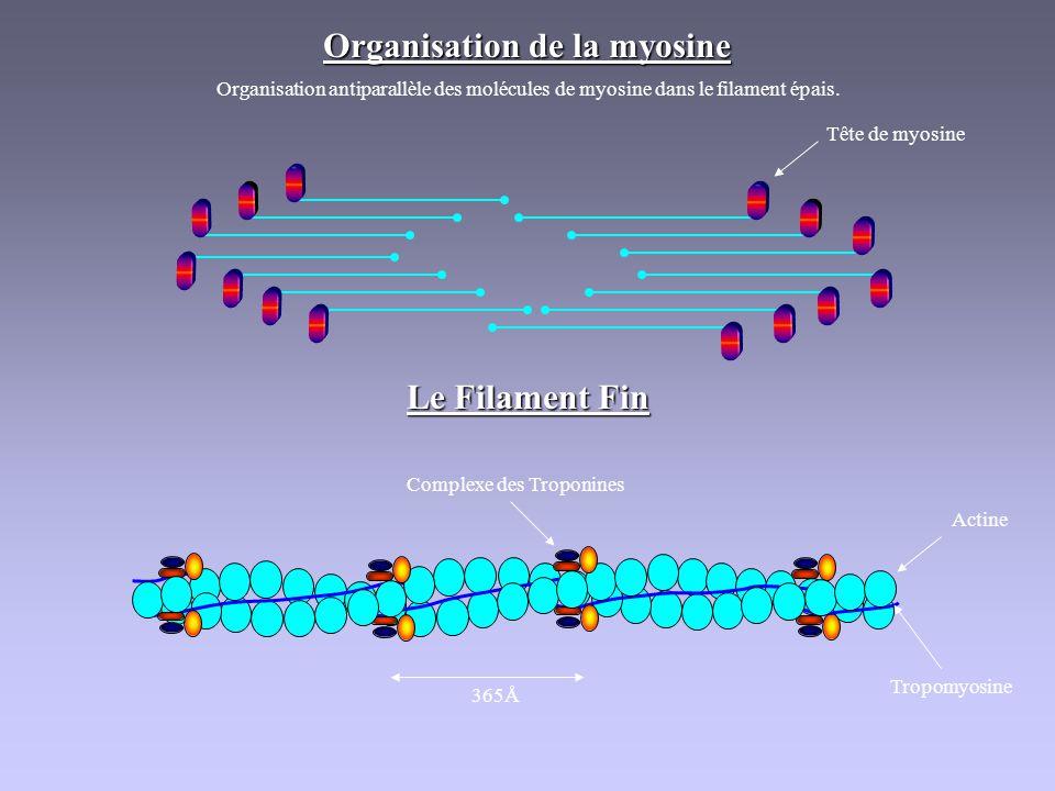 Organisation de la myosine Organisation antiparallèle des molécules de myosine dans le filament épais. Tête de myosine Le Filament Fin 365Å Complexe d